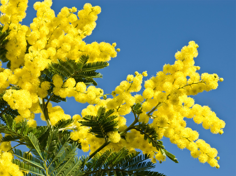 Mimosas in Blossom from January to March