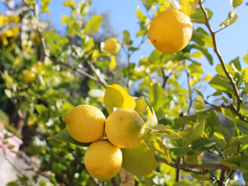The perfect conditions for Citrus Fruits